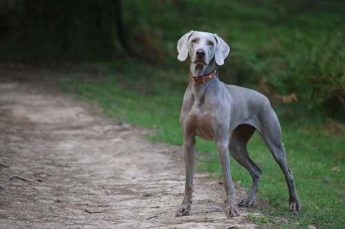 dog adult grey dog on dirt road pet