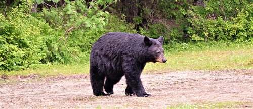 wildlife black bear on soil ground near trees bear