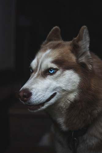 dog brown and white Siberian husky close-up photo husky