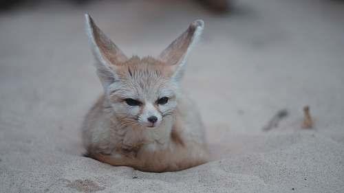fox brown fox on sand kit fox