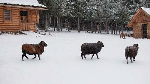 sheep brown goats on snow animal