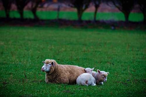 sheep two sheeps on grass animal