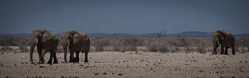 animal walking elephants on desert elephant