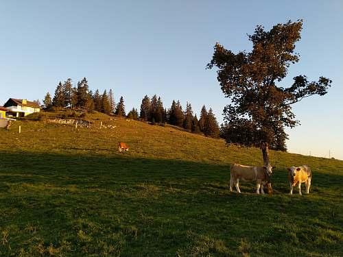 field two cattle beside tree grassland