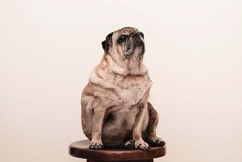 dog tan pug on brown wooden stool pug