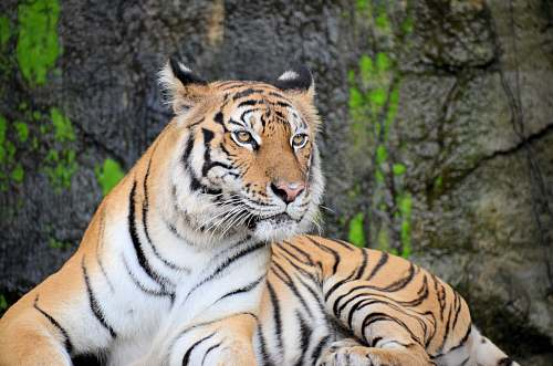 animal white and black tiger lying on gray rock in closeup photography mammal