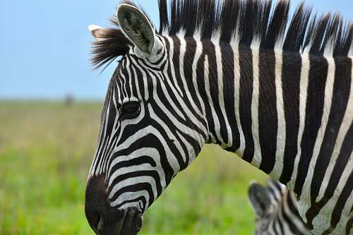 mammal portrait of zebra zebra