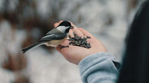 winter bird perching on person's right hand while eating nuts feed