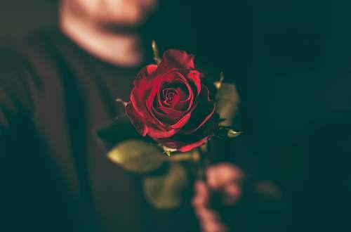 rose macro shot photography of man holding red rose plant