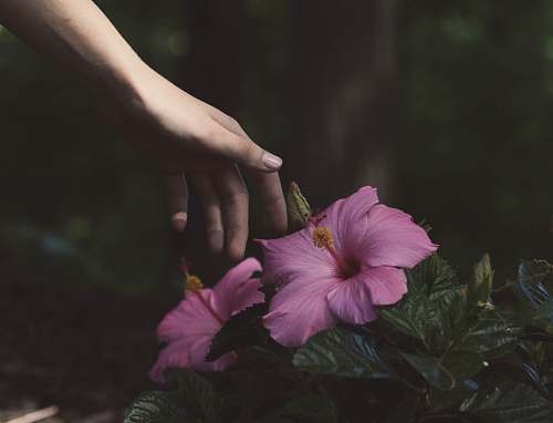 blossom person about to touch the pink flower hibiscus
