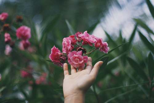 plant person touching red and pink petaled flowers blossom