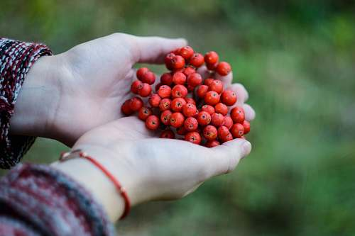 berry cluster of red fruits on person's hand hold