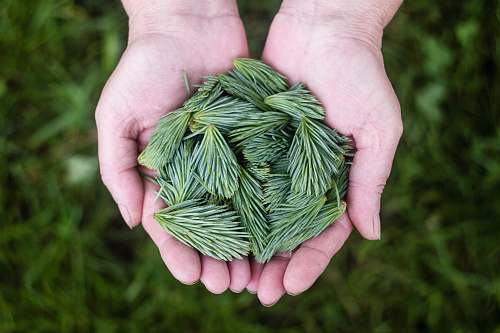 hands person holding a green leaves plant
