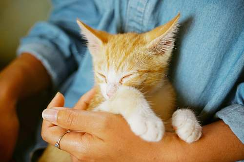 cat person holding orange tabby kitten jeju-do