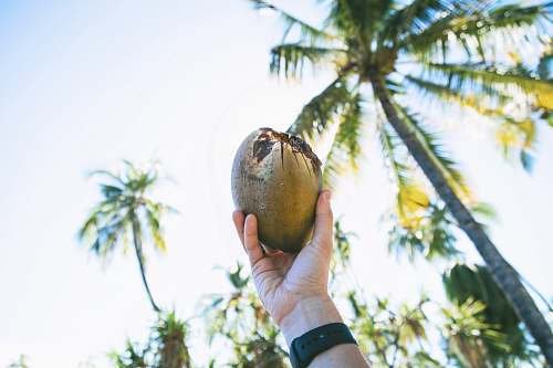 coconut person holding up coconut fruit palm tree