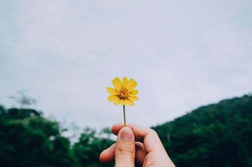 flower person holding yellow petaled flower petal