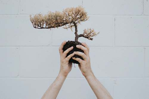tree person holding brown leafed plant bonsai