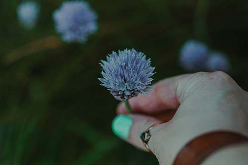 person blooming blue chrysanthemum flower finger