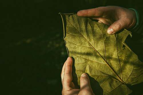 photo person person holding leaf holding free for commercial use images