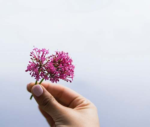 person selective focus photo of person holding pink petaled flower people