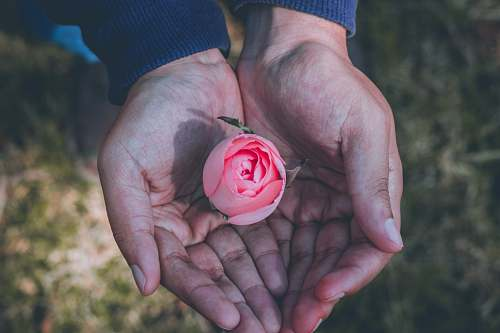 rose person holding pink rose flower