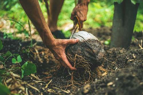 hand Field worker digs up a coconut from the forest floor coconut
