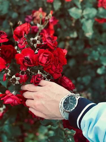 wristwatch person wearing watch holding red petaled flower rose