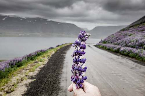 photo flora person's hand holding hyacinth flower lavender free for commercial use images