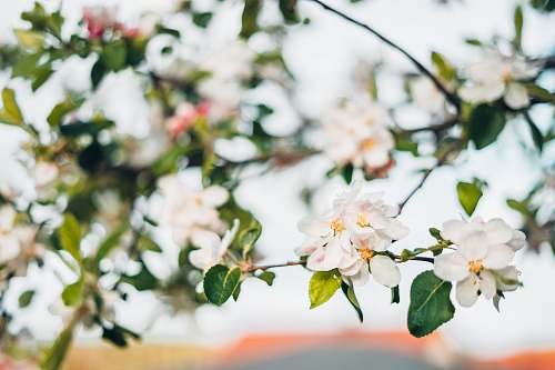 blooming white cherry blossoms