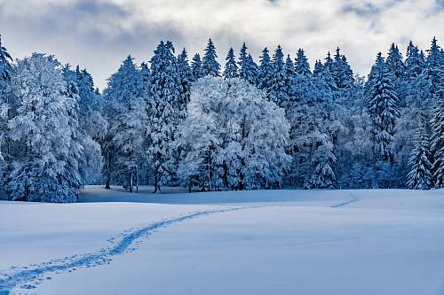 provence pine trees covered by snow canton de vaud
