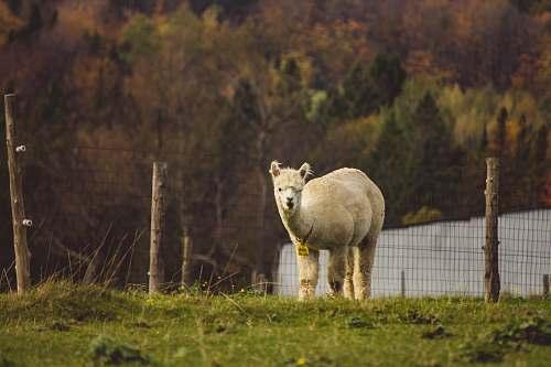 llama photo of llama mammal