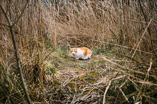 cat adult orange tabby cat surrounded by dried plants grass