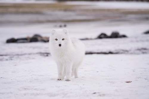 fox arctic fox arctic fox