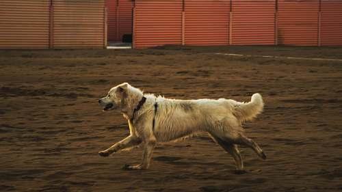 canine beige dog running on brown sand dog
