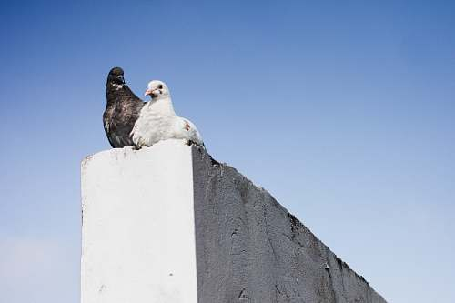 bird black and white pigeons on concrete wall pigeon