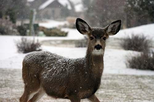 deer brown deer wildlife