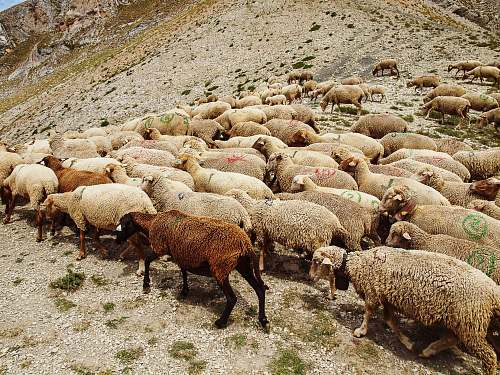sheep herd of sheeps mammal