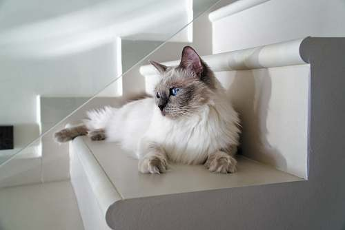 cat long-fur white can lying on white stairs mammal