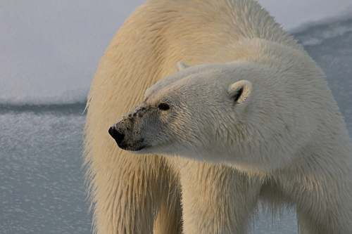 bear polar bear closeup photography wildlife