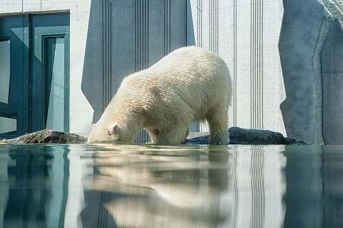 bear Polar Bear on body of water mammal