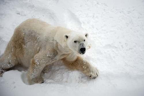 bear polar bear on snow polar bear
