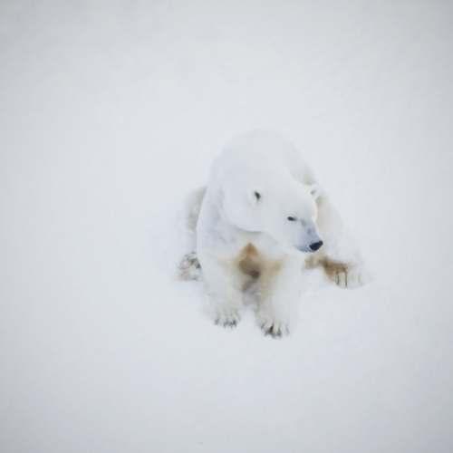 lapland polar bear on snow covered ground finland