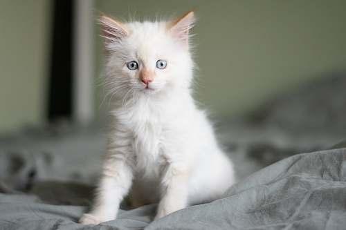 pet short-coated white kitten cat