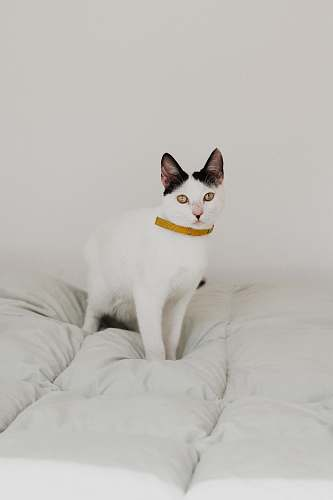 cat short-haired white cat on white bed pet