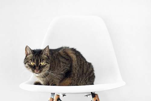cat silver and black cat on white chair pet