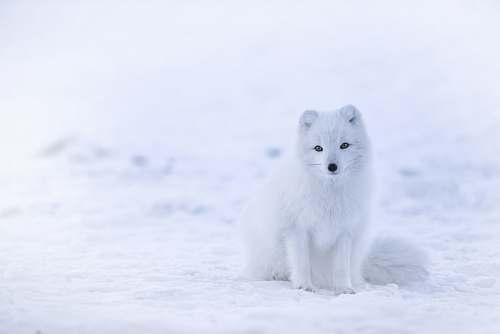 fox snow fox on snowfield arctic fox