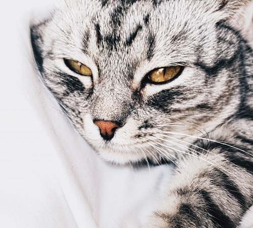 cat tabby cat laying on white textile pet