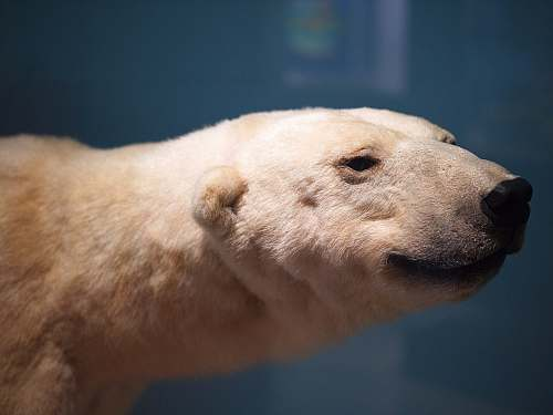 bear tilt shift lens photography of adult polar bear wildlife