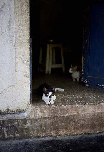 mammal tuxedo cat beside wall pet