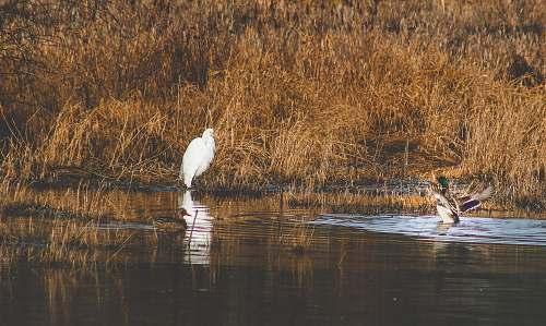 bird two ducks on body of water waterfowl
